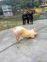 Lợn quỳ gối, vái trước cửa đền